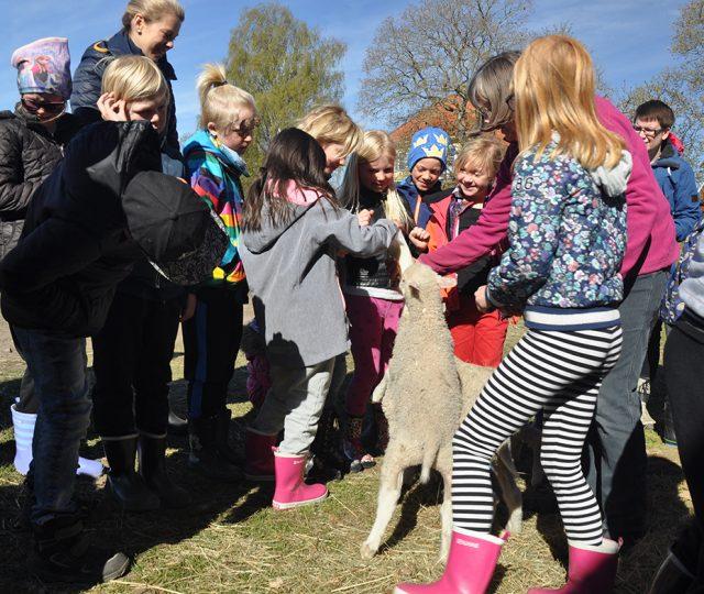 Många vill träffa lammen i Lixhult